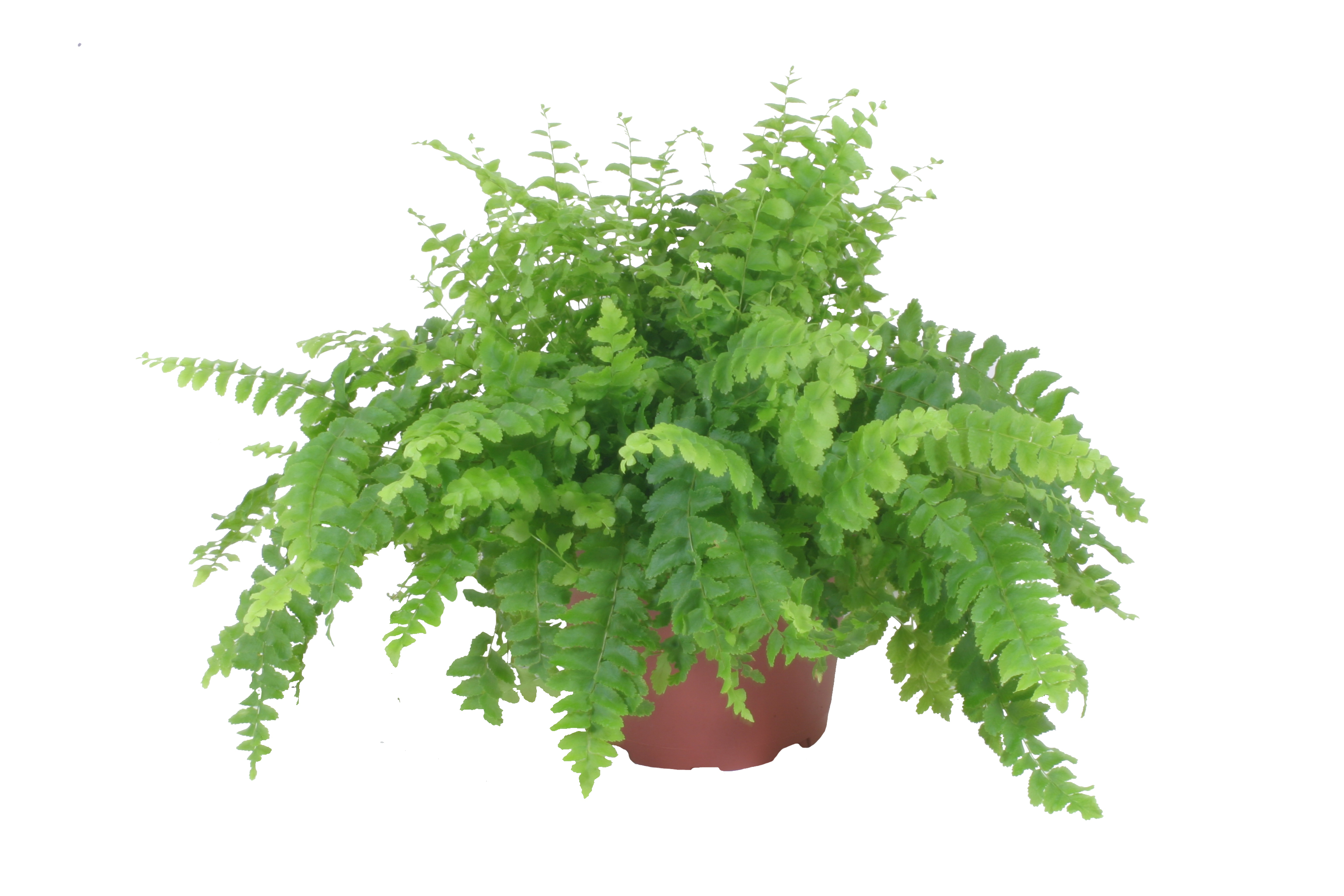 "Picture of Live Dallas Fern aka Nephrolepis exaltata 'Dallasii' Plant Fit 4"" Pot"
