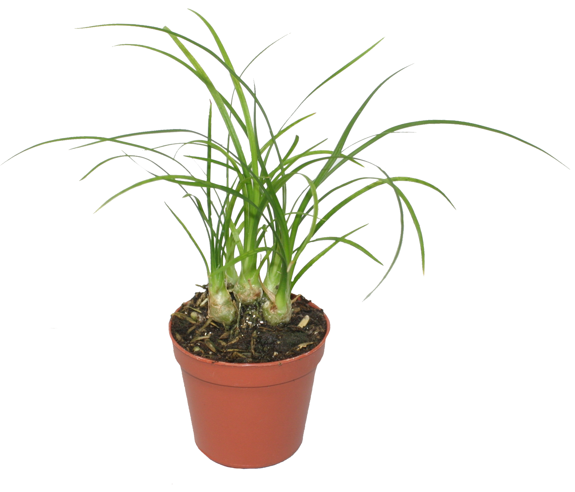 Pixie Plants Central Florida Ferns